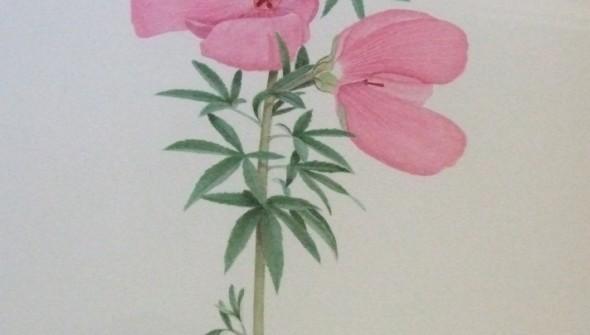 Hibiscus splendens - Botanical Watercolour
